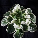 African Violet Cool Mint Plant